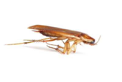 Tips on preventing and controlling German Roaches
