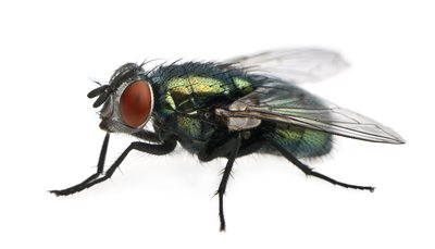 Tips on preventing and controlling Flies